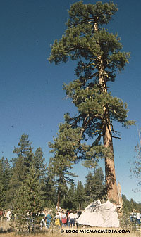 Donner tree and lean-to ID200