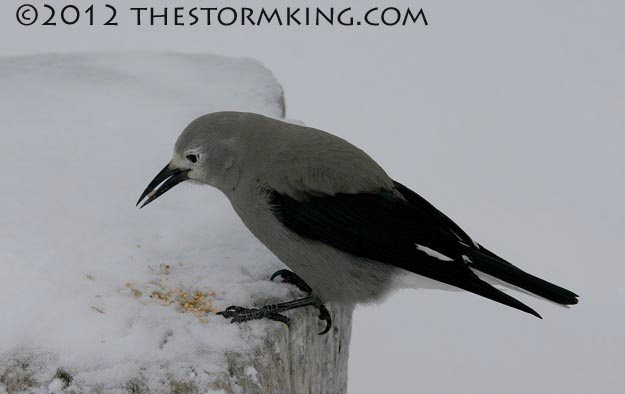 Nugget #224 Clark Nutcracker